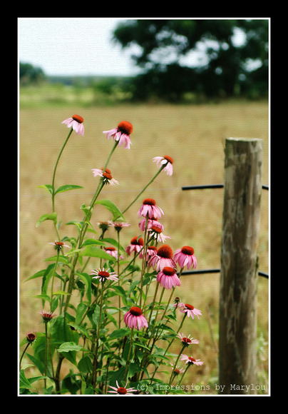 Painted Cone Flowers.jpg
